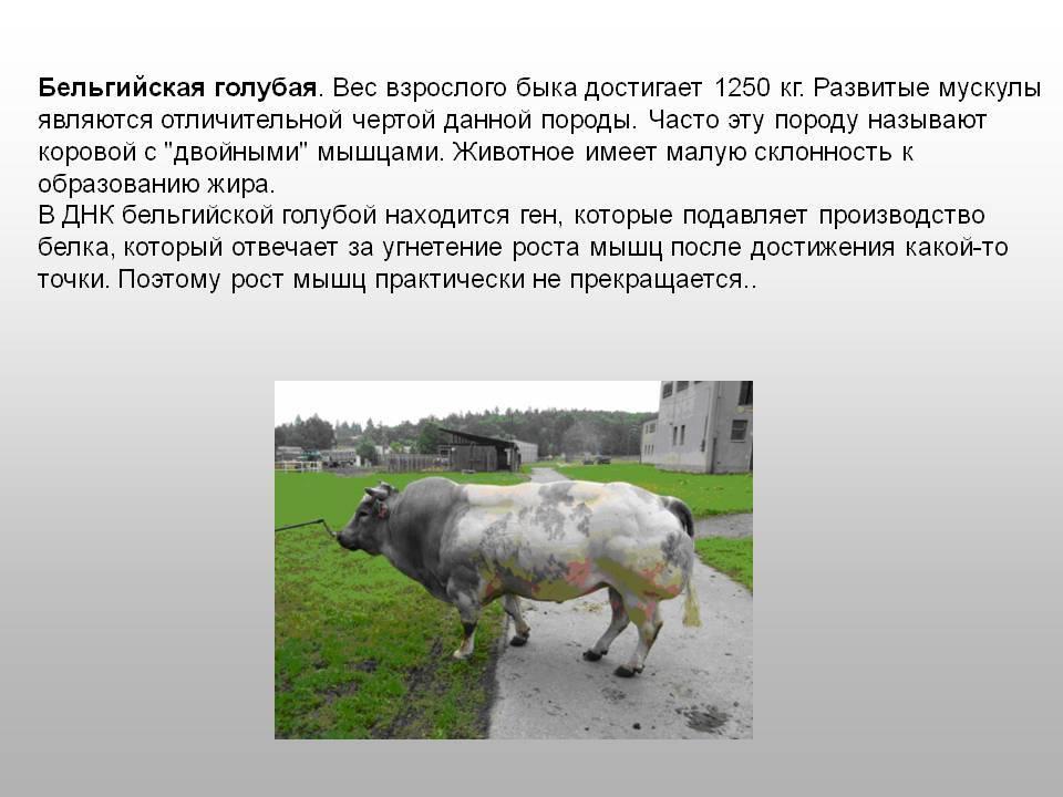 Корова ярославской породы: особенности внешнего вида, содержания и разведения