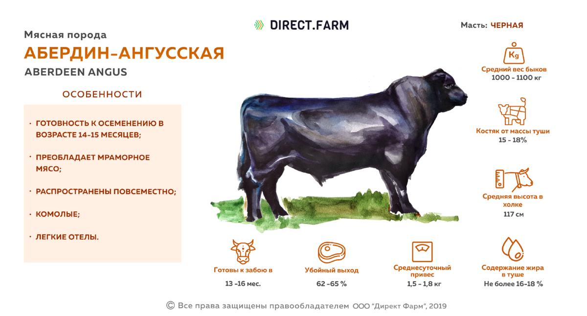 Абердин-ангусская порода коров