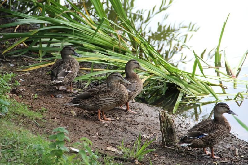 Чем кормить уток на пруду можно и нельзя: дикие и домашние птицы