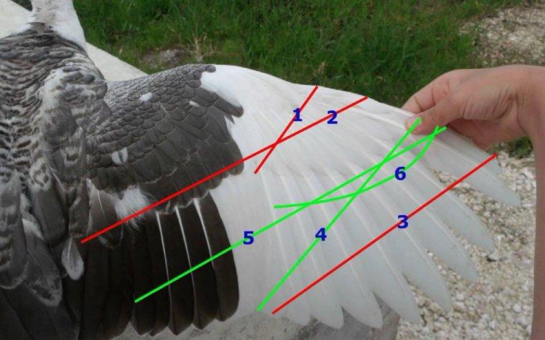 Можно ли обрезать у индюков крылья - jurnalagronoma