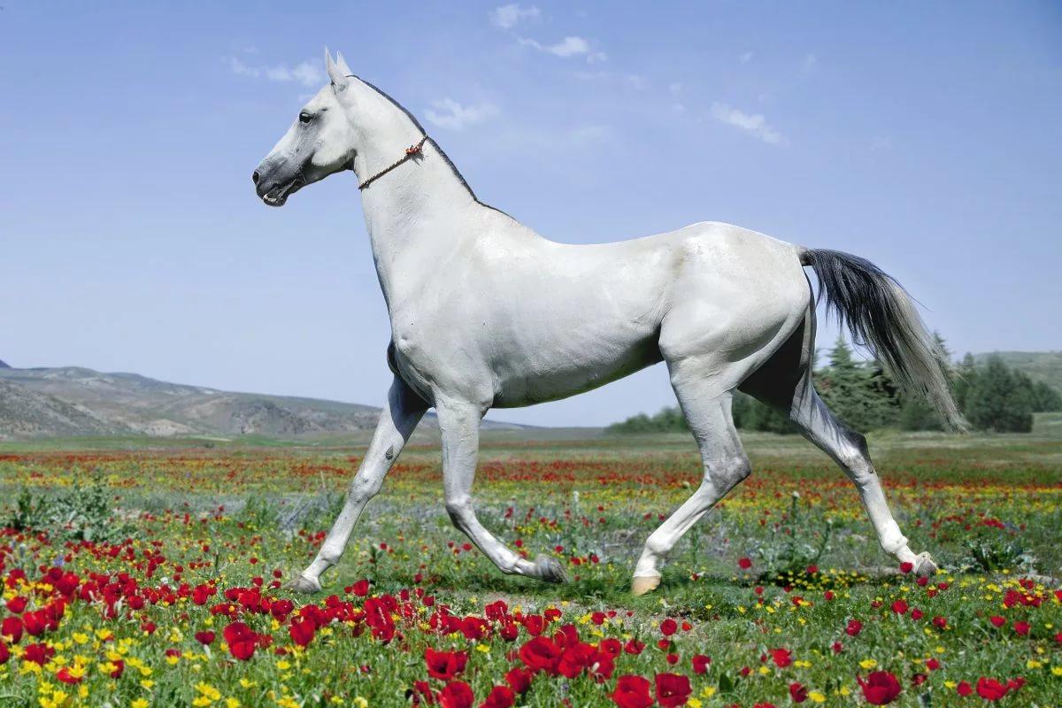 Ахалтекинская лошадь, история и описание породы, особенности и использование ахалтекинцев