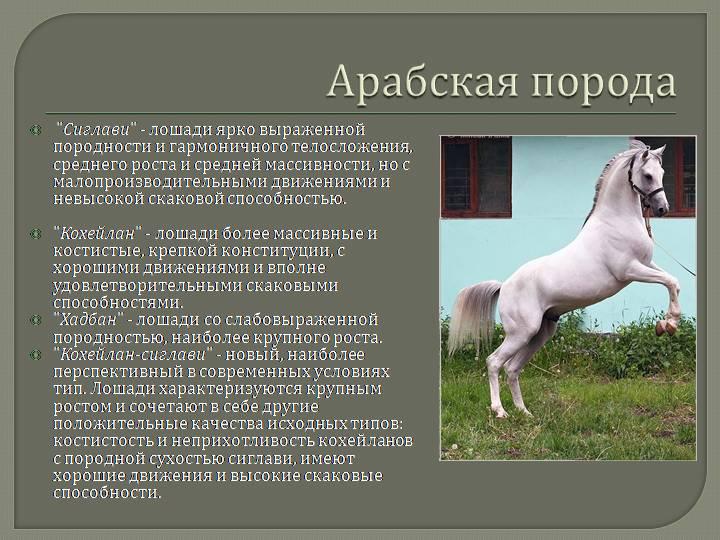 Липицианские лошади