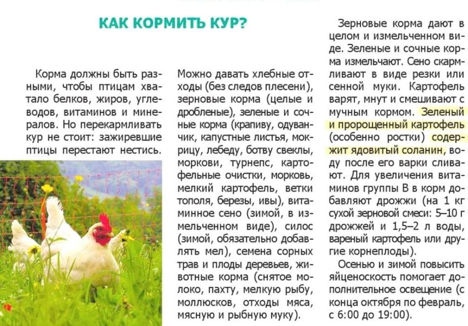 Почему куры перестали нестись: причины, что делать — selok.info
