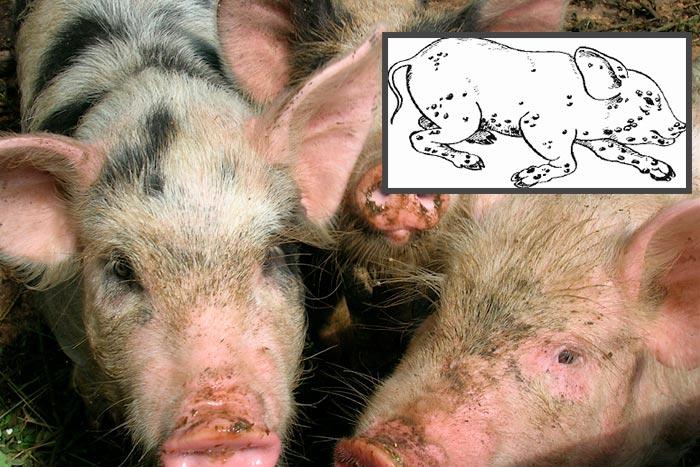 Кожные заболевания у свиней: инфекционные, атрофический ринит