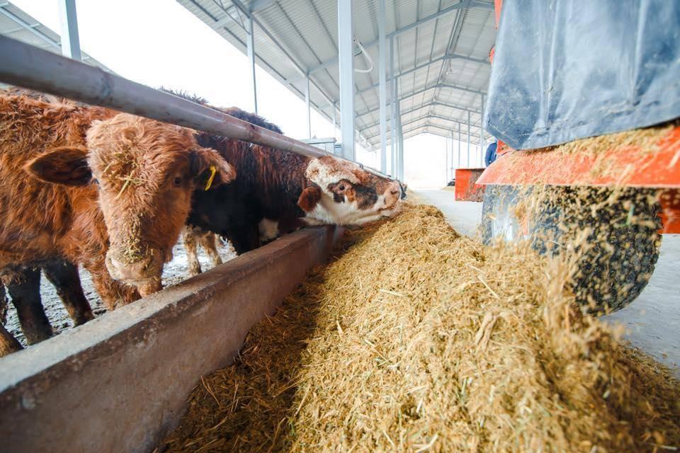 Откорм бычков на мясо – самые эффективные и быстрые способы