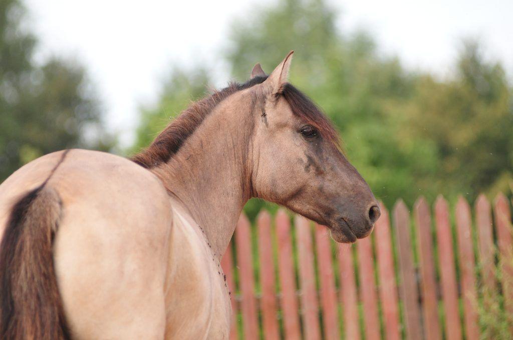 Каурый цвет лошади: особенность масти, происхождение, история каурых коней