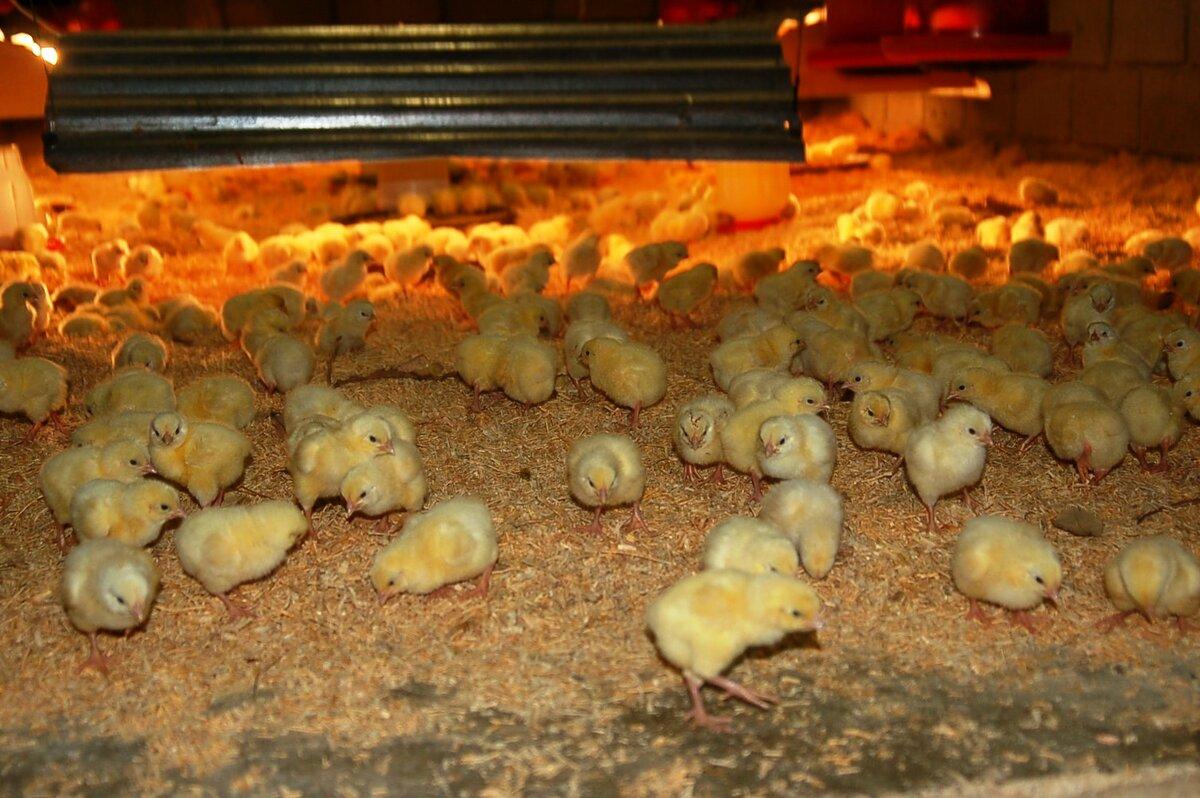 Какой уход необходим цыплятам в первые дни жизни