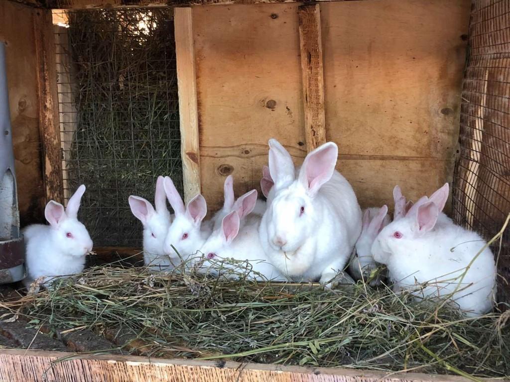 Кролик белый великан | кролики. разведение и содержание в домашних условиях