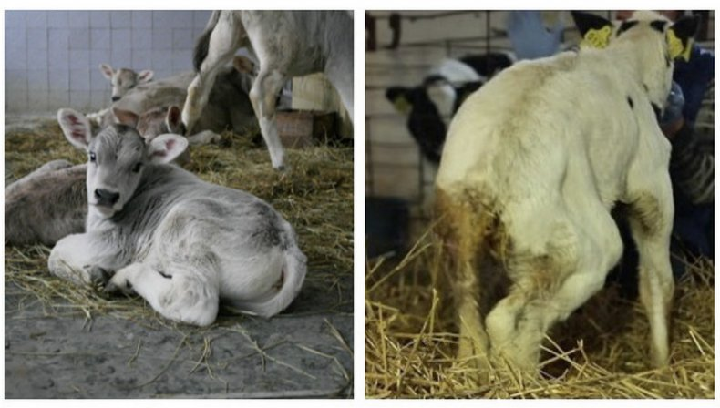 Что дать корове от поноса: лечение диареи у крс