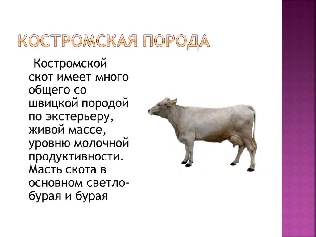 Содержание крупного рогатого скота