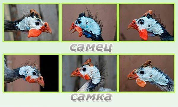 ✅ о цесарках: как отличить самку от самца по голосу, определение возраста птицы - tehnomir32.ru
