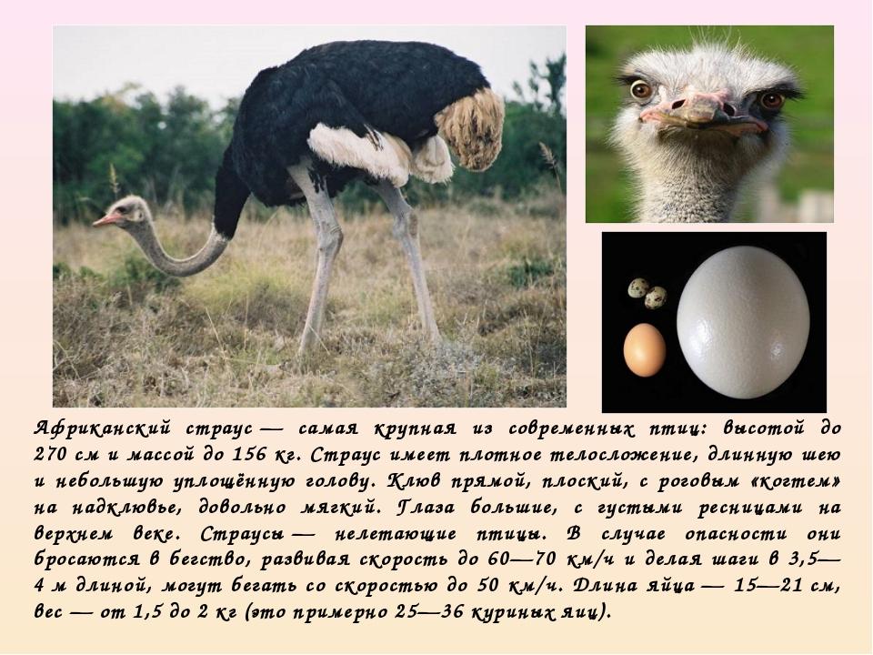 Страус нанду. образ жизни и среда обитания страуса нанду