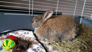 Кастрация декоративных кроликов.