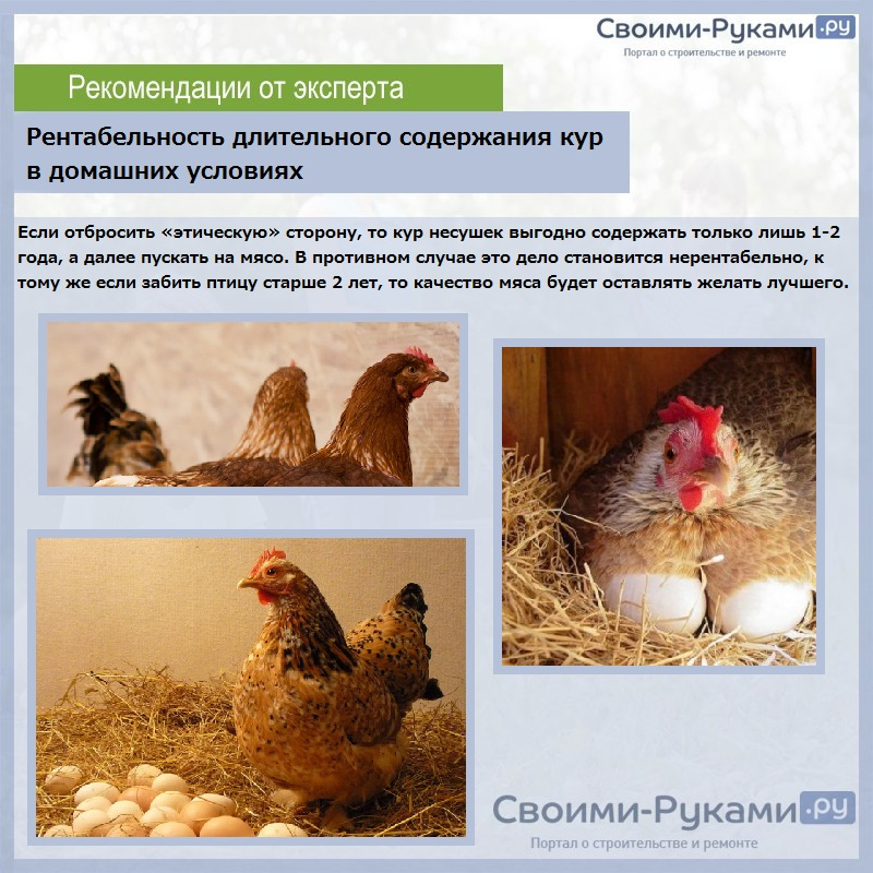 Разведение кур, как бизнес: выгодно или нет, особенности хозяйства