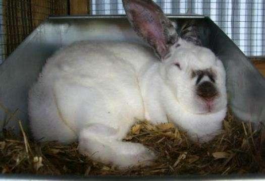✅ сколько длится беременность у кролика: как определить, что крольчиха беременна - tehnomir32.ru