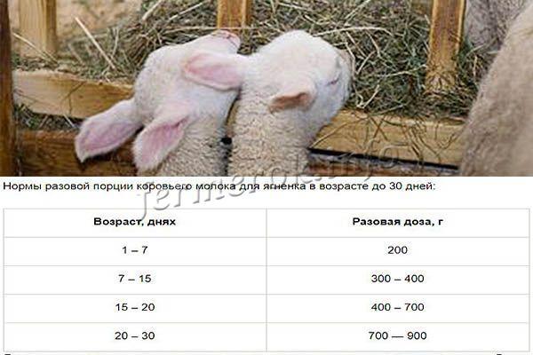 Чем питается овца - особенности кормления