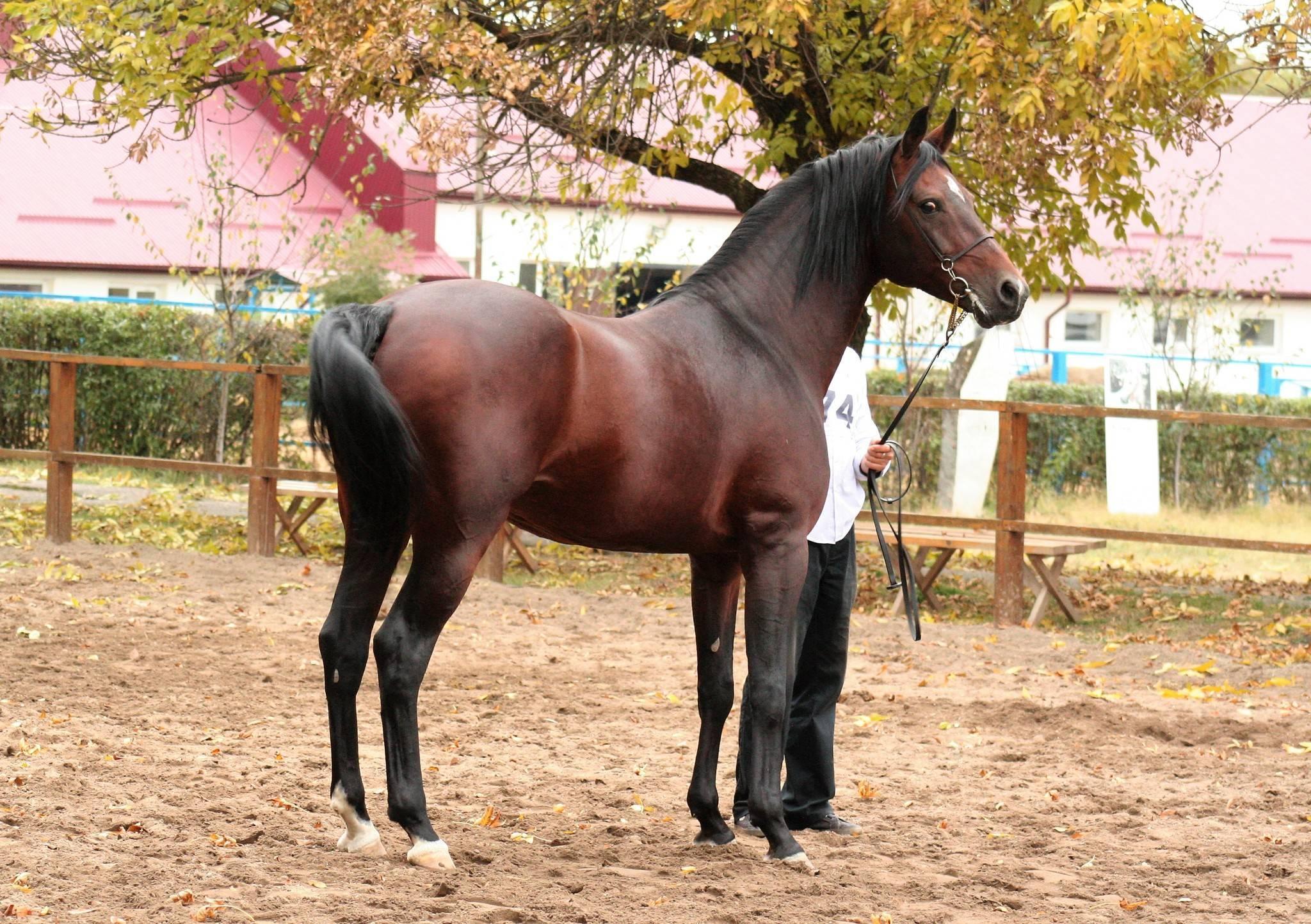 Алтайская порода лошадей: фото, описание, происхождение, характеристика, разведение
