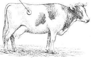 Почему быки едят землю: причины, что делать