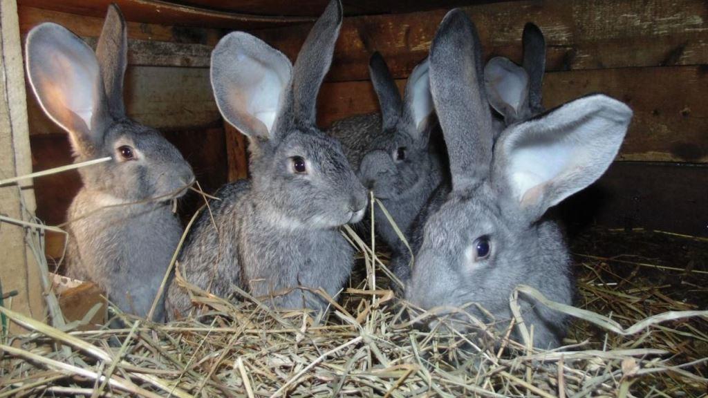 Кролики породы фландр: описание, характеристика, содержание