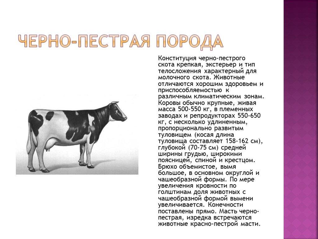 Симментальская порода коров ☝️: характеристика, болезни крс, плюсы и минусы, питание и уход, правила разведения и фото