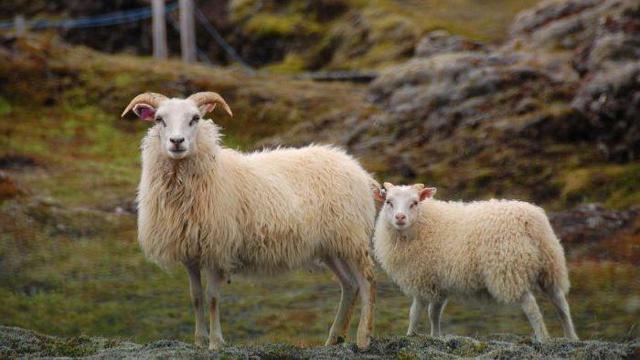 ✅ как называются детеныши овцы: маленький ребенок барана, ягненок, особенности - tehnomir32.ru