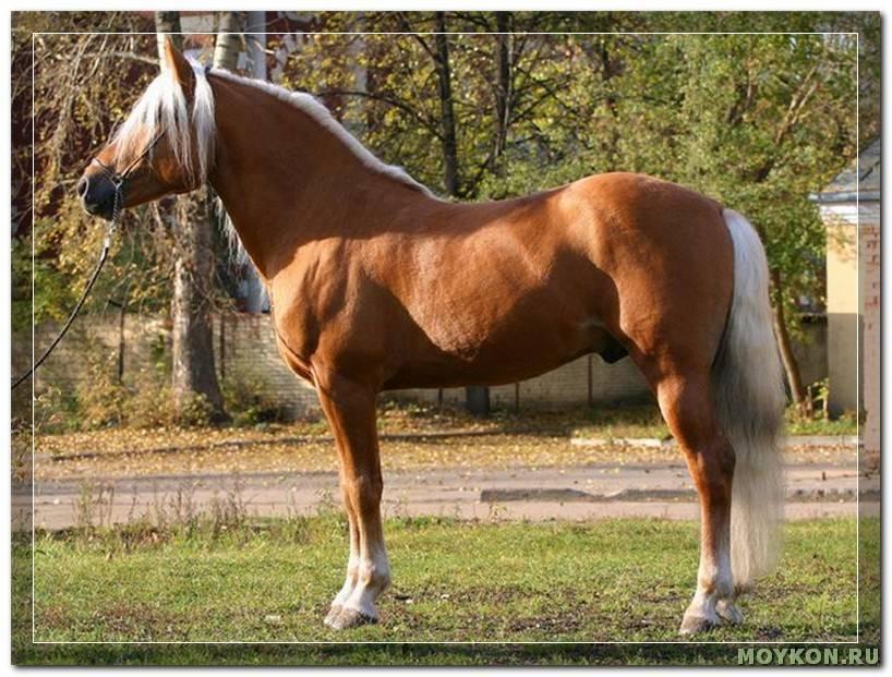 Характер и другие особенности гнедой лошади