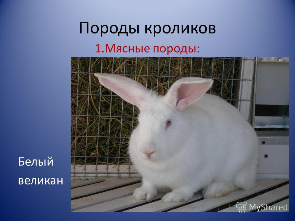 Порода кроликов белый великан. характеристика, описание, фото, скрещивание с другими видами, рекомендации кролиководов 2020 года