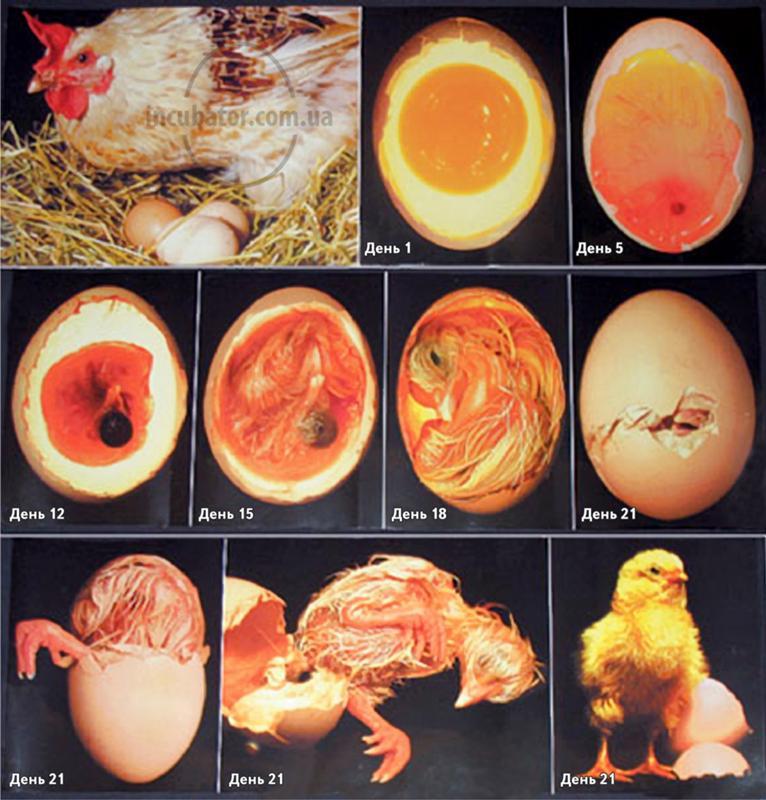 Как помочь инкубаторским цыплятам выжить при рождении