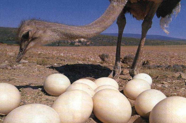 Каков максимальный вес страусиного яйца: особенности яйценоскости птиц