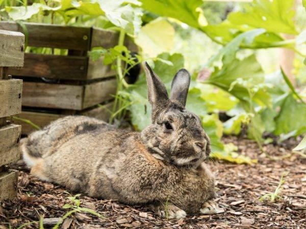 Можно ли давать кроликам топинамбур и кормить ботвой данного растения: рекомендации относительно правильного питания животных