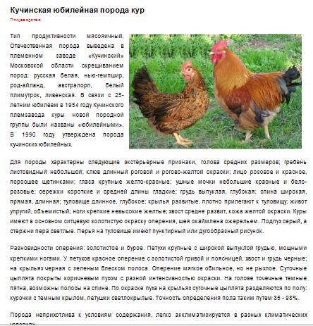 Порода кур плимутрок: описание, выбор, уход и размножение