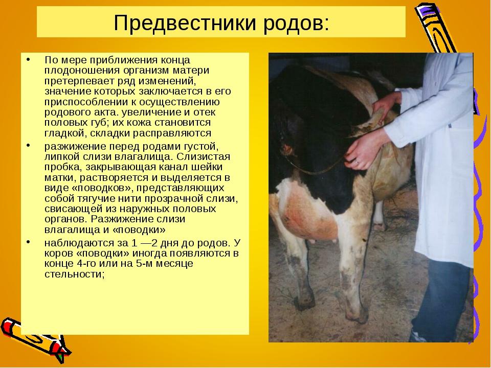 Запуск коровы после осеменения и подготовка животного к отёлу, приём телёнка