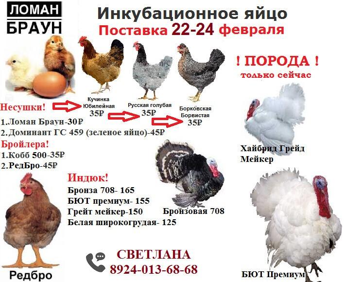 Маран порода кур – описание пасхальных, фото и видео