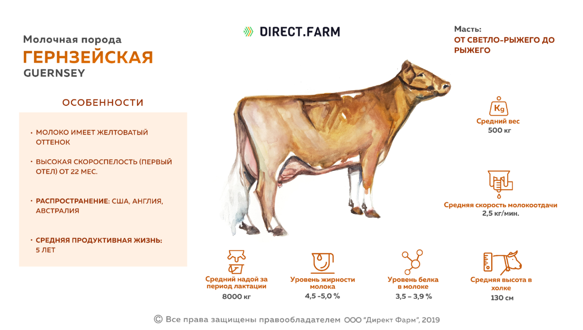 Айрширская порода коров: описание, фото, плюсы и минусы, уход и содержание
