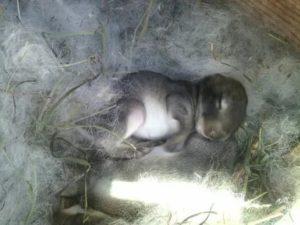 Разведение крольчат: когда открывают глаза и выходят из гнезда, развитие по дням и уход за питомцами