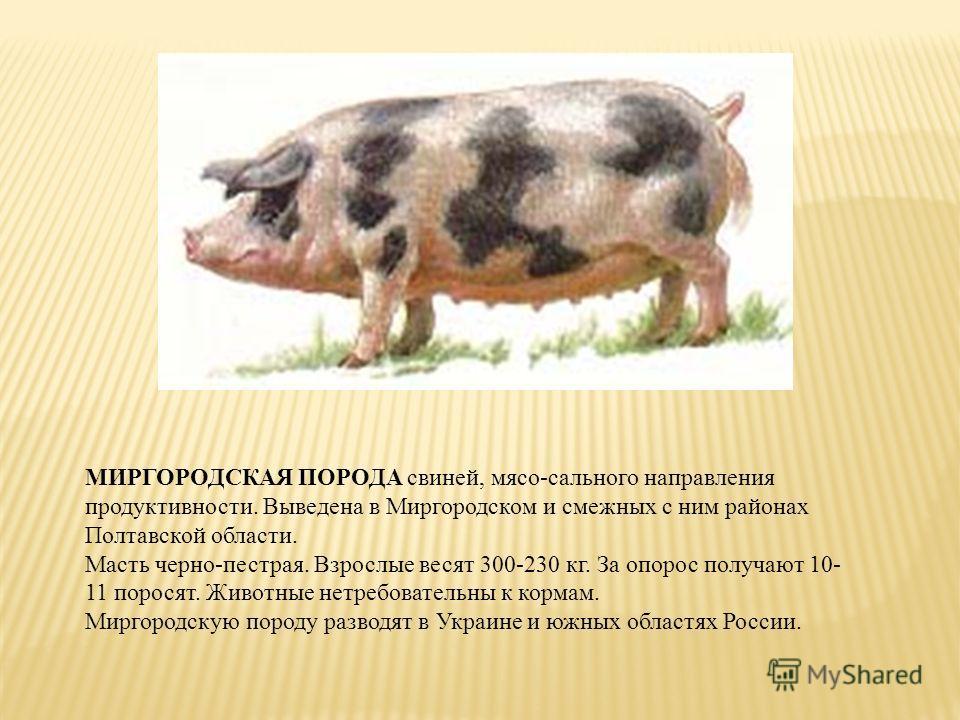 Все о черной породе свиней: описание, особенности, характеристики