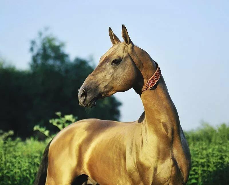 Как характеризуются ахалтекинские лошади: история происхождения, особенности внешности и характера породы