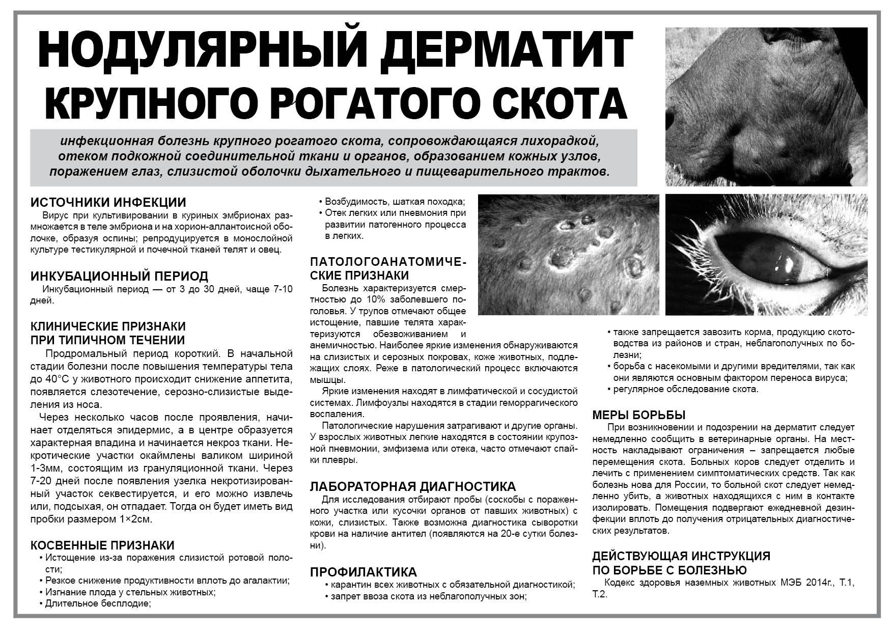 Нодулярный дерматит у человека опасен ли, переходит ли на людей от крупного рогатого скота?