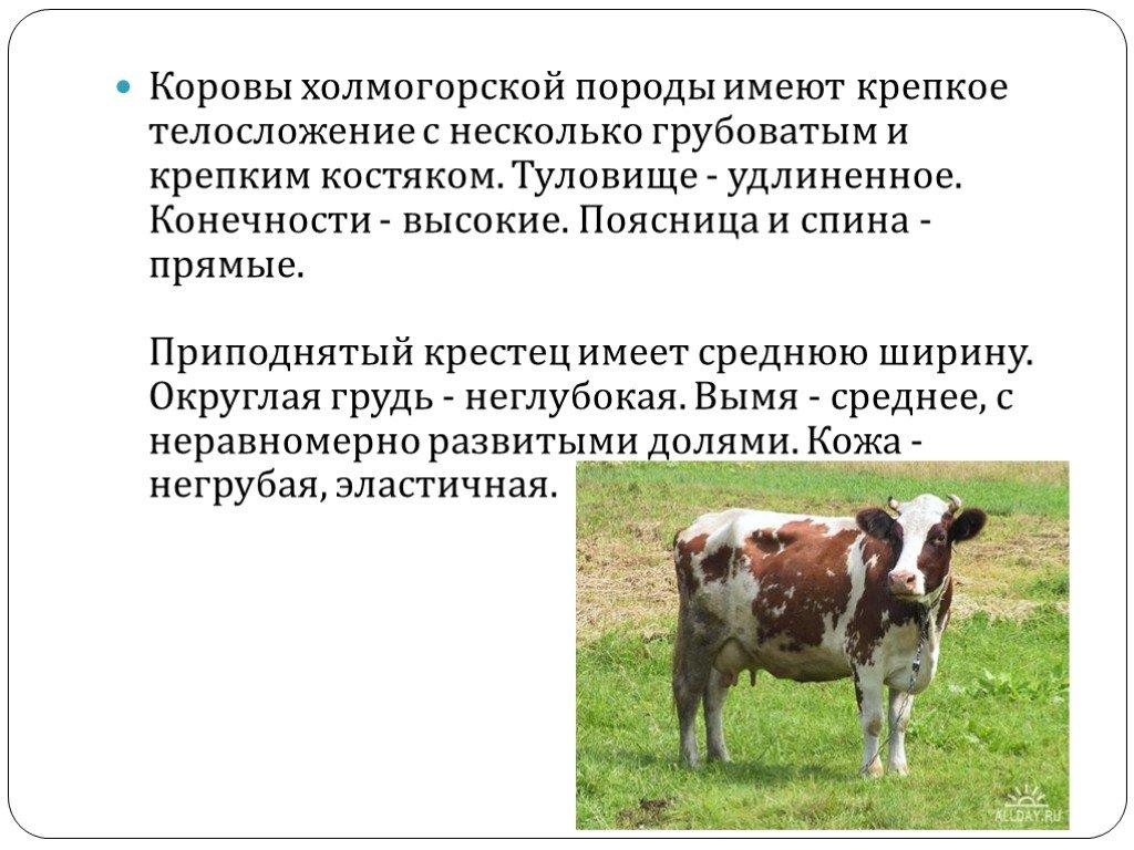 Холмогорская порода коров: характеристика, содержание и уход