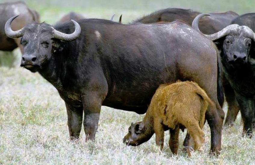 Молоко буйволиное