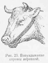 Что делать, если у теленка вздулся живот?