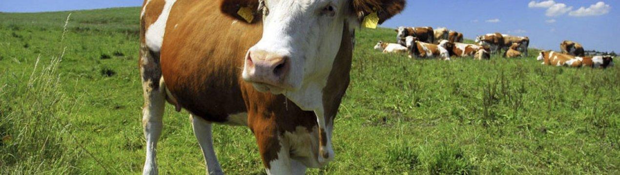 ✅ что делать при туберкулезе у крупного рогатого скота (лечение крс) - tehnomir32.ru