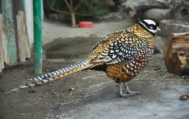 Как выглядит фазан?