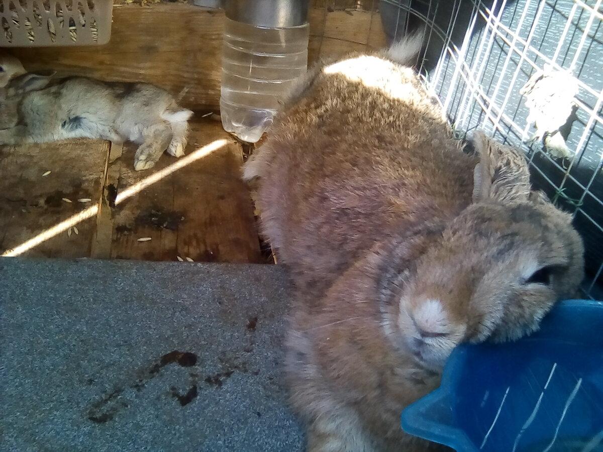 Как кролики переносят жару - как спасти кроликов от жары