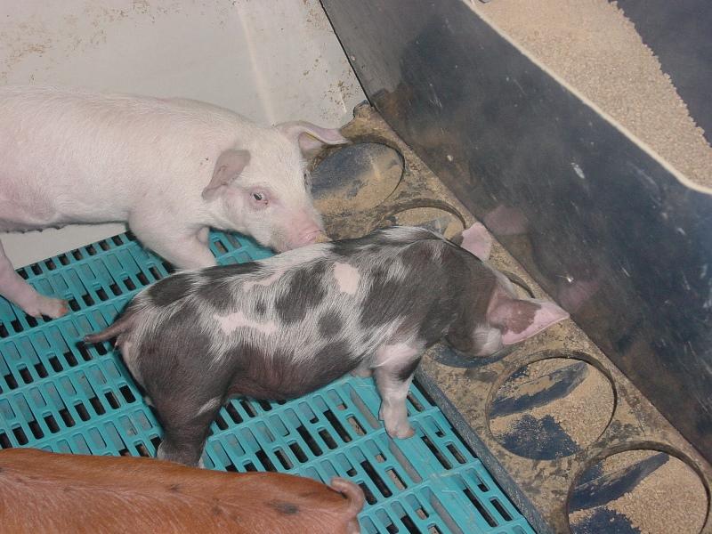 Кормушка для свиней и ее устройство ⋆ «премьер агро» — агропромышленный журнал