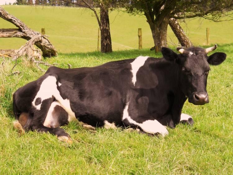 Ацидоз у коров (крс): симптомы и лечение