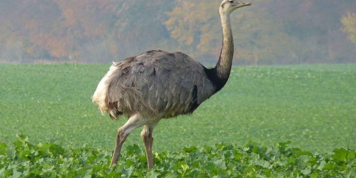 Нанду (55 фото): американский страус, птицы живущие в южной, какой вид