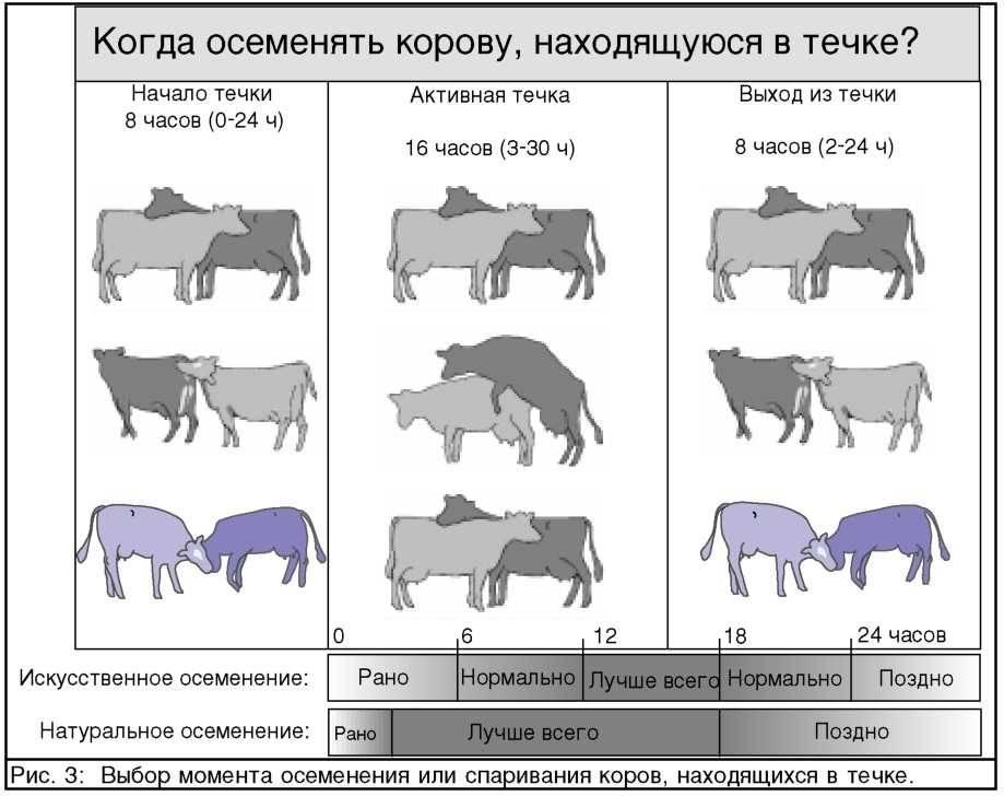 Осеменение коров и период беременности