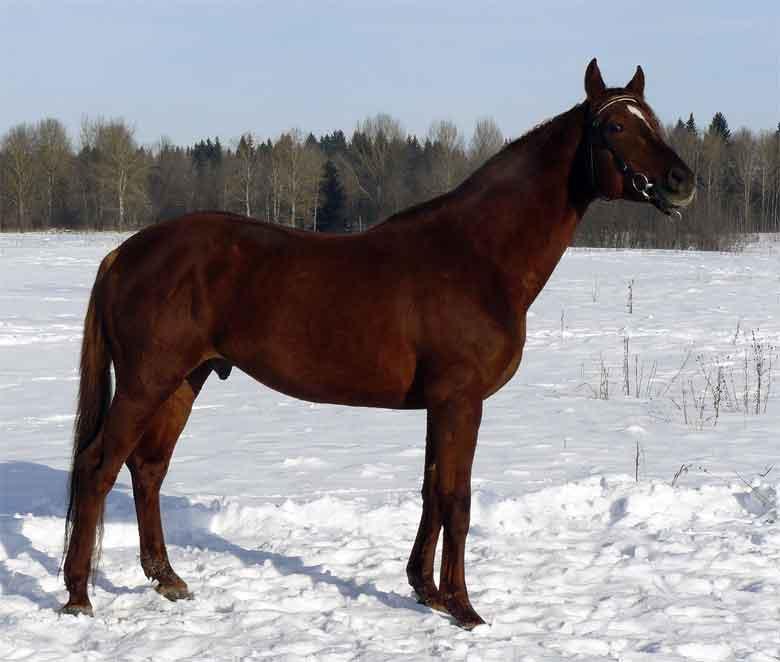 Русские породы лошадей: от верховой породы до орловского рысака