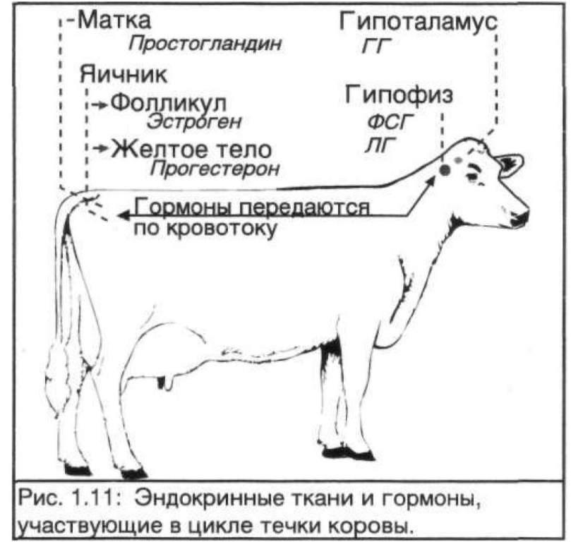 Ректальное исследование коров на стельность по месяцам